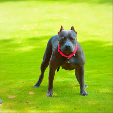 american pitbull terrier jumping 9 things you should u201cnose u201d about the blue nose pitbull animalso