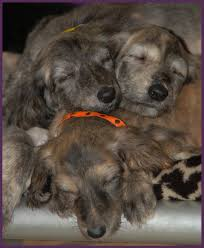 8 month old afghan hound 2010 news