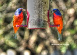 backyard birding and nature the last painted buntings have