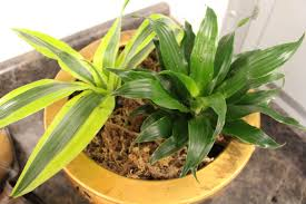 5 easy indoor plants naturally glam