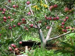 apple trees all around picture of banjara orchard retreat