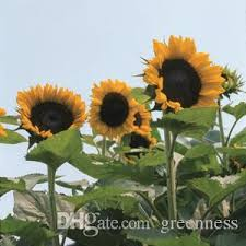 best quality 20 sunflower seeds plant ornamental