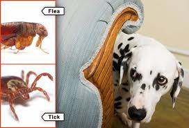 Do Bed Bugs Get On Dogs Fleas Ticks Pets And What To Do In Pictures