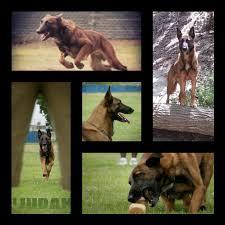 belgian sheepdog breeders indiana american working malinois association stud dog directory
