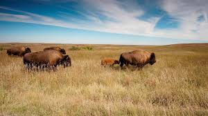 Bison Connect Department Of Interior Theodore Roosevelt National Park U S National Park Service