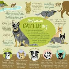 australian shepherd qld history of australian cattle dog australian cattle dog