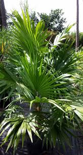 Florida Native Plants Pictures Landscaping With Florida Native Plants Blog Archive Florida Thatch
