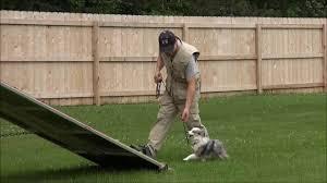 training a australian shepherd shay toy australian shepherd boot camp dog training youtube