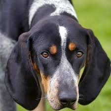 bluetick coonhound kennels in pa bavarian mountain hound х bavarian mountain hound pinterest