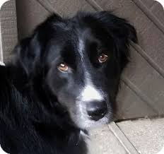 australian shepherd and border collie mix keeper adoption pending adopted dog 8017109 white settlement