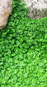 Rock Garden Cground Baby S Tears Soleirolia Soleirolli Has A Beautiful Texture And