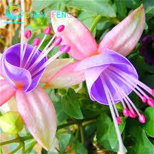 lantern flower 200 pcs lantern flower fuchsia seeds hanging flowers f alba
