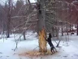 bluetick coonhound weight bluetick hound treeing youtube