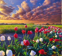 Image Of Spring Flowers by Spring Flowers Tulips Field Sunrise Grass Clouds Nature
