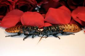 bronx zoo name a madagascar hissing cockroach for valentine u0027s day