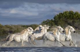 camargue white horse wallpapers wild white horses galloping