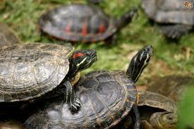 common diseases of aquatic turtles pets4homes