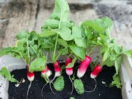 How To Grow Vegetables by Growing Radishes Indoors Grow Raised Beds And Home