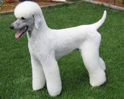 standard poodle hair styles another interesting standard poodle clean face and ears variation