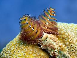 five fast facts about christmas tree worms invertebrates earth