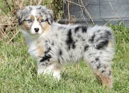 australian shepherd male names the puppy with no name