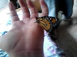 a butterfly lands on my