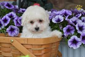 bichon frise in ohio 1000 images about bichon frise pups on pinterest buckeyes