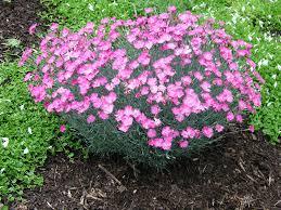 dianthus flower dianthus firewitch garden housecalls