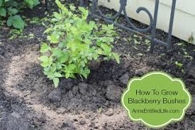 garden design garden design with blackberry shrub u recipes hubs