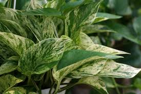 pothos houseplant description and growing tips
