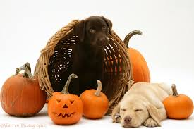 halloween lab compare prices on halloween puppy costumes online shopping buy