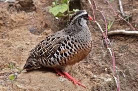 painted bush quail perdicula erythrorhyncha google search