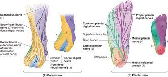 Foot Anatomy Nerves Chapter 5 Lower Limb U2013 Part 2 Essay Medicine And Health