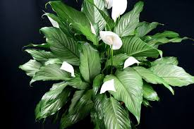 house plants voss condo units for sale philippines
