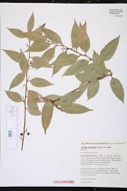 native plants of south carolina agarista populifolia species page isb atlas of florida plants