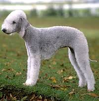 feeding a bedlington terrier bedlington terrier care a lot pet supply