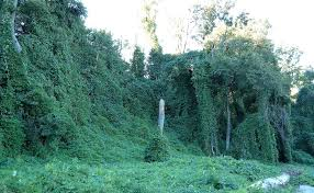 Kudzu in the united states wikipedia
