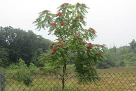south central pennsylvania native plants tree of heaven creates hell for native forests u2013 the allegheny front