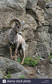 narrow picture ledge bighorn sheep ram turning on a narrow ledge on a rock face in stock
