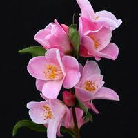 Most Fragrant Plants - most fragrant camellias