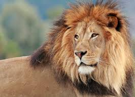male lions manes mental floss