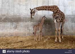 tisch family zoological gardens jerusalem biblical zoo stock photos u0026 jerusalem biblical zoo stock
