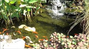 backyard goldfish koi pond and plants look great at the end of the