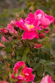 william baffin climbing rose monrovia william baffin climbing rose