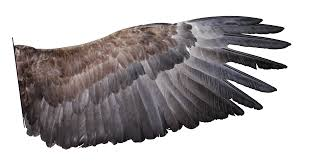 Bird Wing - file h albicilla wing png wikimedia commons
