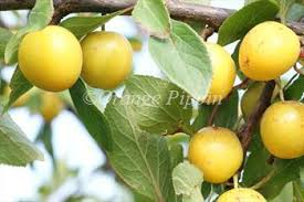 Online Fruit Trees For Sale - mirabelle de nancy mirabelle trees for sale buy online