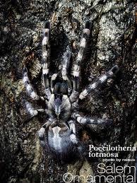 salem ornamental poecilotheria formosa tarantula