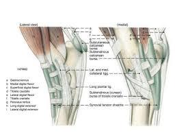 Tendon Synovial Sheath Tarsal Anatomy Of The Horse