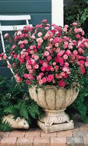 Fragrant Plants For Pots - 127 best roses garden and containers images on pinterest roses