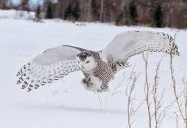 Rhode Island Where To Travel In December images Regional forecast calls for a snowy owl winter ecori news jpg